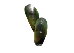 Greenshell Mussels - Perna canaliculus